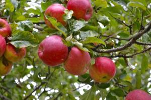appels uit de tuin van HUIS130